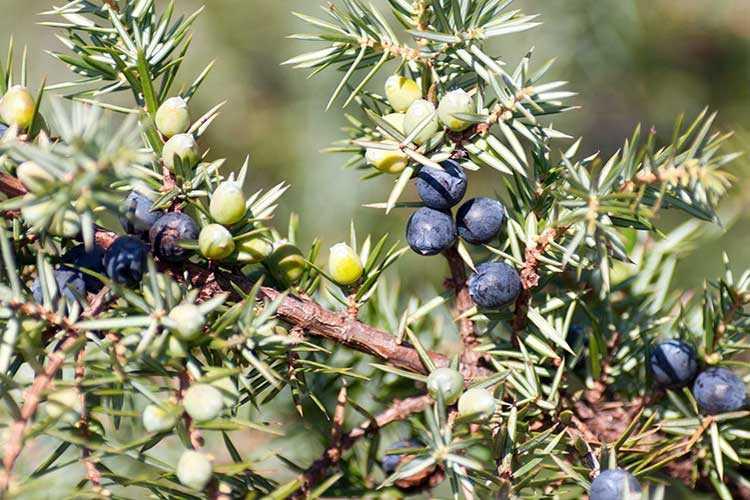 Настойка из ягод можжевельника лечебные свойства и противопоказания