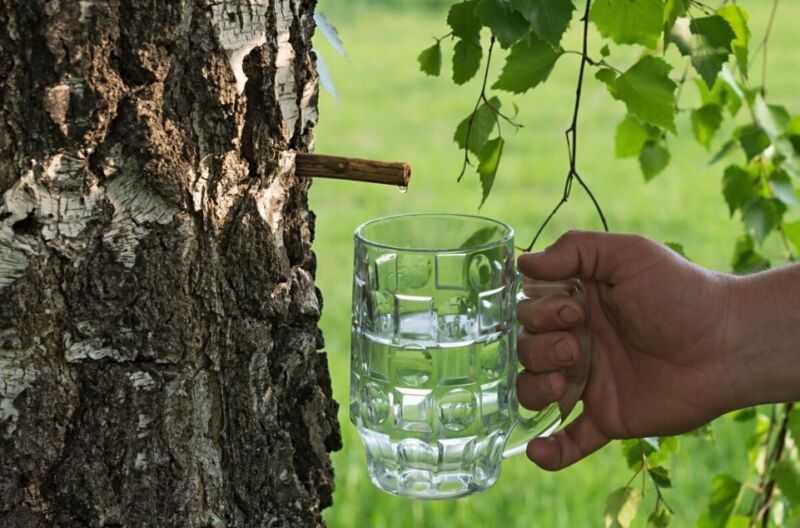 Вино из березового сока в домашних условиях: лучшие рецепты, технология приготовления