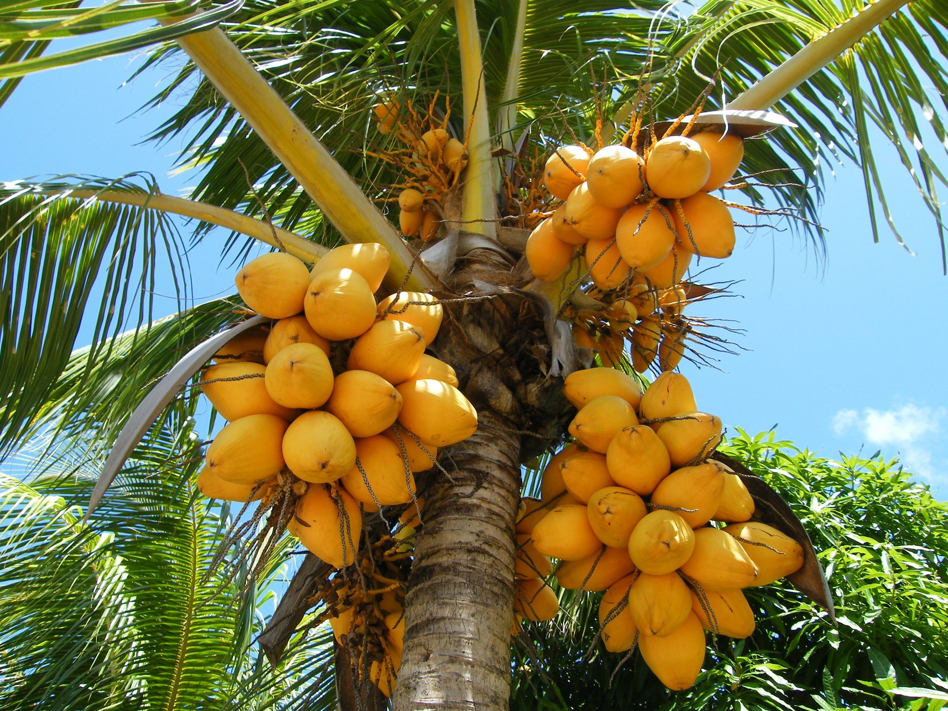 Сушеная папайя полезные свойства и противопоказания
