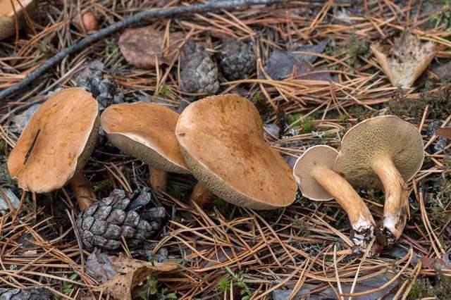 Как мариновать козлята (козляки) грибы: простые рецепты - дача
