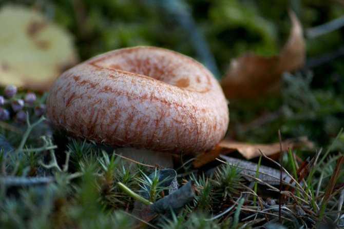 Способы и рецепты правильной засолки грибов волнушек (+19 фото)