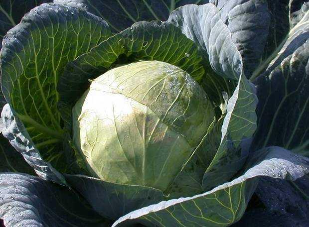 В какой посуде можно квасить капусту - простые пошаговые рецепты с фотографиями
