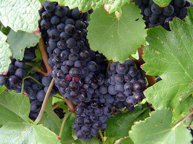 Простой рецепт вина из винограда изабелла, приготовление креплёного вина в домашних условиях