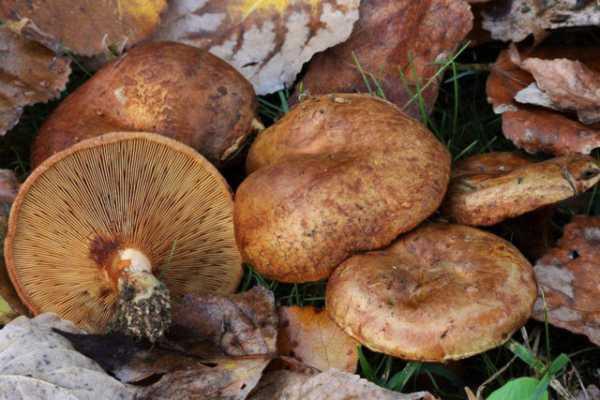 Что приготовить из свинушек на зиму. как правильно и сколько варить грибы свинушки? рецепт приготовления свинушек