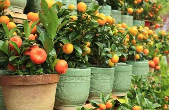 Кумкват (сушёный, вяленый, цукаты): польза и вред фрукта для организма человека
