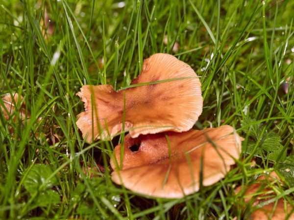 Взрослые опята-переростки: фото, как выглядят съедобные осенние переросшие грибы и можно ли их есть
