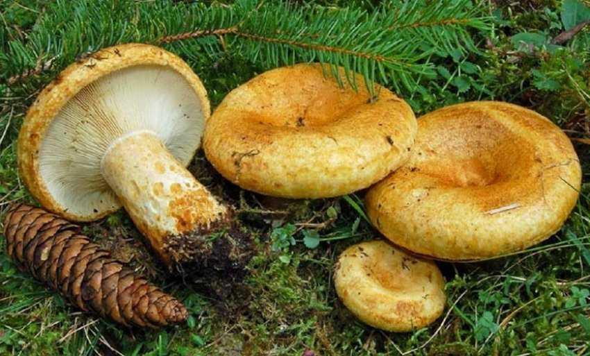 Пирожки с грибами груздями: рецепты начинок и теста для этой домашней выпечки