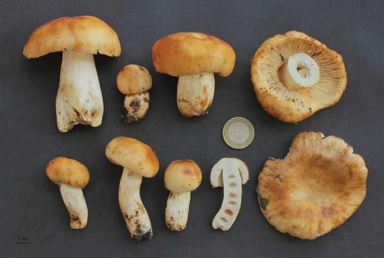 Валуи: рецепты приготовления грибов в домашних условиях