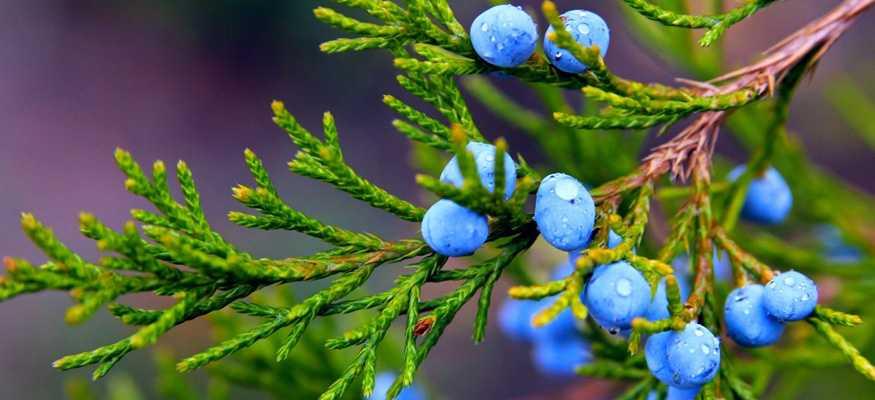 «пусть эта ёлочка в праздничный час…» рецепты можжевеловой настойки