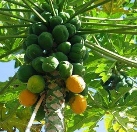 Сушеная папайя: калорийность и описание продукта