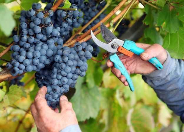 Домашнее вино из винограда изабелла - простой рецепт ⋆ готовим вкусно, красиво и по-домашнему!