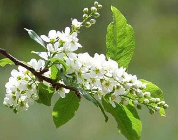 Черёмуха (обыкновенная, белая, красная) польза и вред для организма, полезные свойства и противопоказания, фото