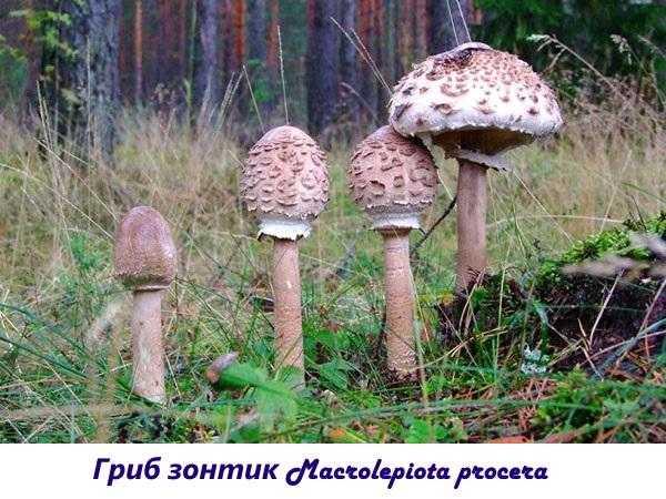 Как приготовить гриб зонтик: обработка, нужно ли варить, пошаговые рецепты с фото - растения и огород