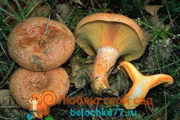 Как правильно почистить и приготовить грибы рыжики после сбора (+21 фото)?