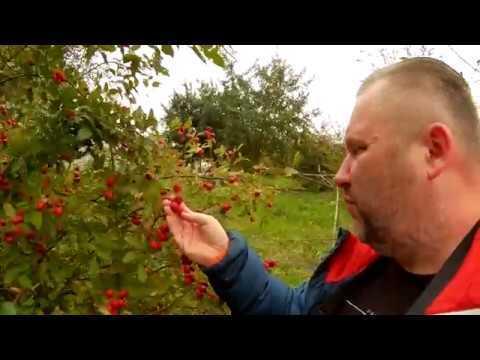 Когда собирать облепиху, листья и урожай ягод: в подмосковье, сибири, на урале и других регионах