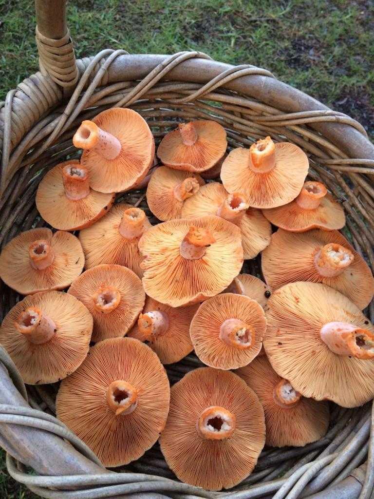 Как сушить грибы - способы сушки в духовке газовой и электрической, микроволновке и сушилке