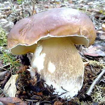 Как солить белые грибы на зиму - три способа » сусеки