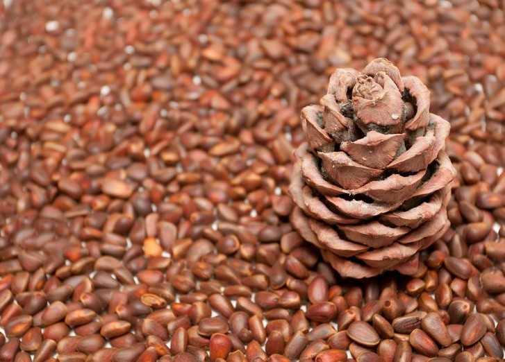 Рецепты настоек самогона на кедровых орешках пришли к нам из давних времен. тогда особо не гонялись за цветом, букетом и ароматом. ценили в первую очередь практичность — а именно лечебные свойства самогона на орешках.