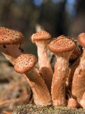 Как готовить сырые опята. как готовить опята: рецепты блюд из свежих грибов   дачная жизнь