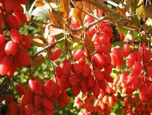 Барбарис: когда собирать и как сушить плоды, правила хранения, способы заготовки