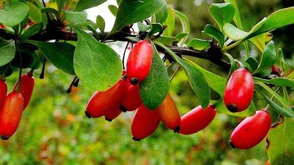 Сушеный барбарис: вкусовые качества, полезные свойства, применение в кулинарии