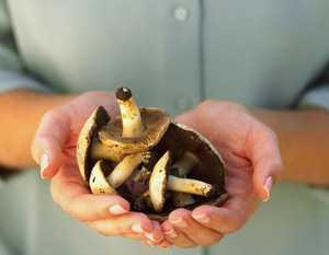 Домашние рецепты засолки маринованных грибов козлят: как приготовить вкусную закуску своими руками. Пикантная заготовка на зиму из грибов козлят.