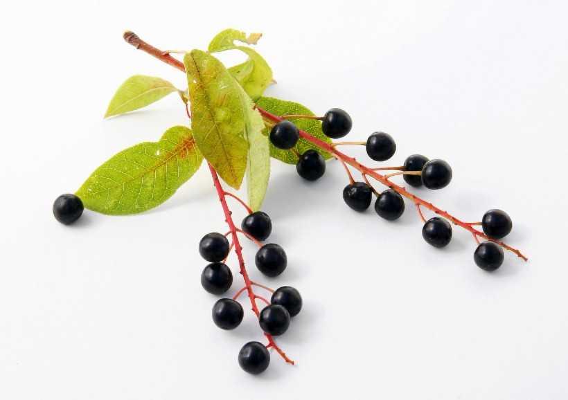 Чем полезна черемуха для нашего здоровья - рецепты