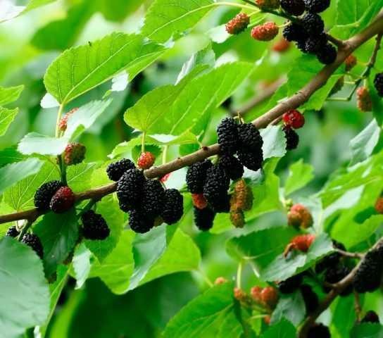 Как сушить шелковицу правильно: сушим ягоды, листья и кору тутовника в домашних условиях - я здоров
