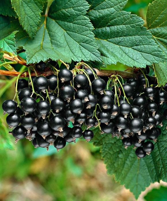 Как собрать, засушить и хранить листья смородины для чая
