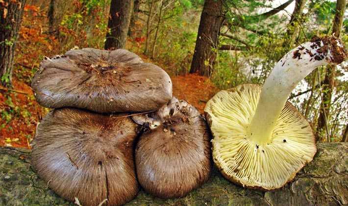 Особенности приготовления рядовок: как варить, жарить и мариновать грибы