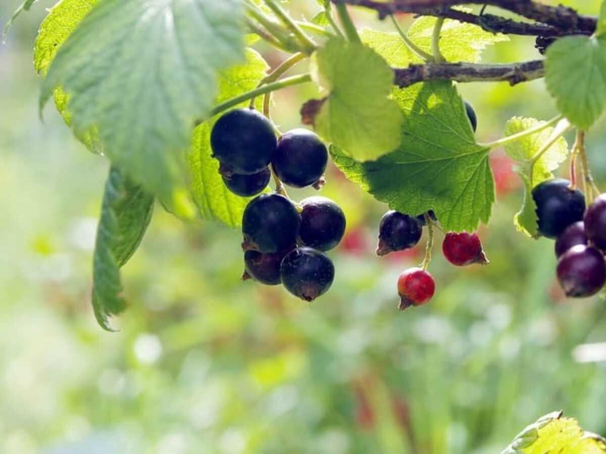 Черная, красная и белая смородина при сахарном диабете