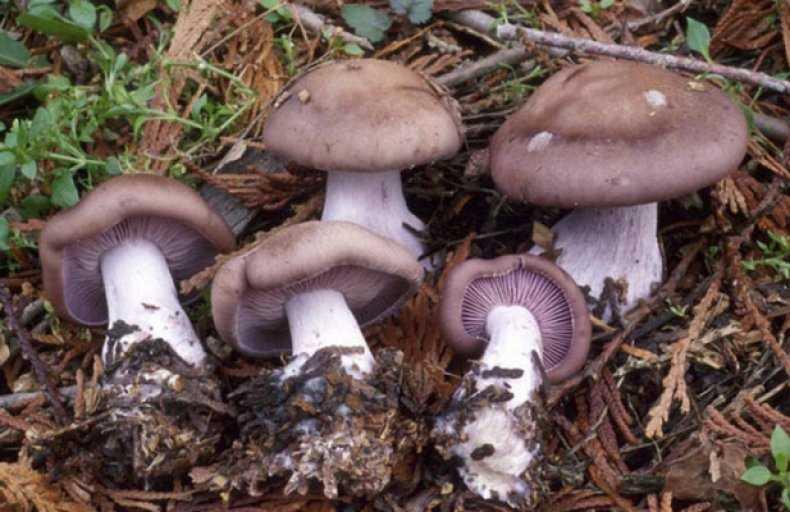 Малоизвестные грибы рядовки и рецепты их приготовления