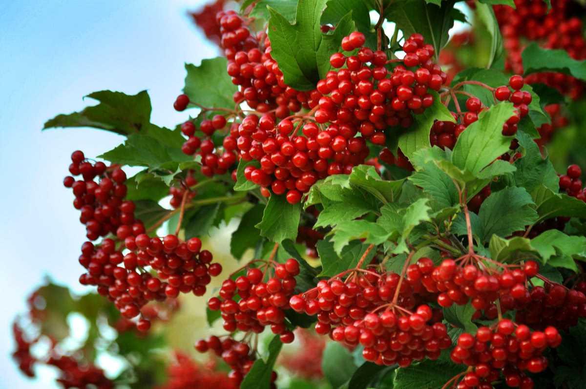 Настойка калины на самогоне – вкусный и полезный продукт