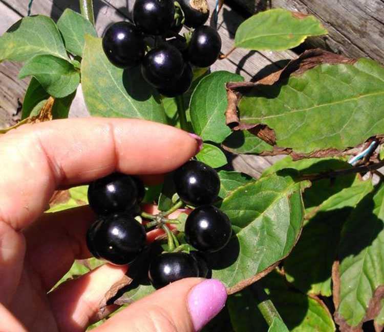 Санберри — полезные свойства и противопоказания, вред солнечной ягоды для организма
