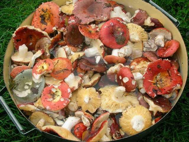 Как правильно обрабатывать, варить и жарить грибы сыроежки: лучшие рецепты грибных блюд. грибной заливной пирог, грибной гороховый суп, салат, мясной рулет, рис с сыроежками: рецепт