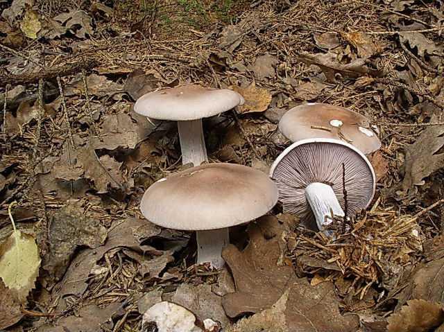 Рядовки маринованные: рецепты приготовления и полезные свойства грибов