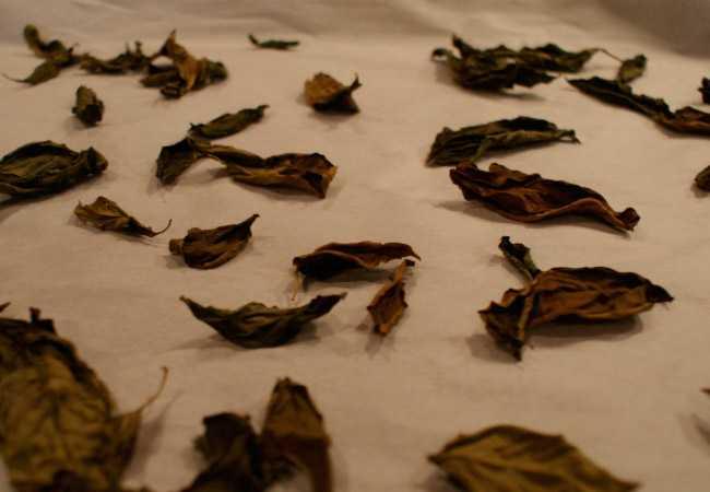 Сушим базилик: 4 способа заготовки ароматной специи
