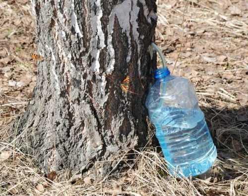 Как и когда собирать березовый сок: добываем полезный напиток без вреда для дерева