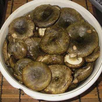 Черный груздь – царь соленых грибов - грибы собираем