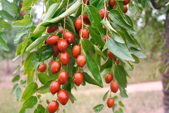 Варенье из зизифуса (унаби): рецепты с фото - растения и огород