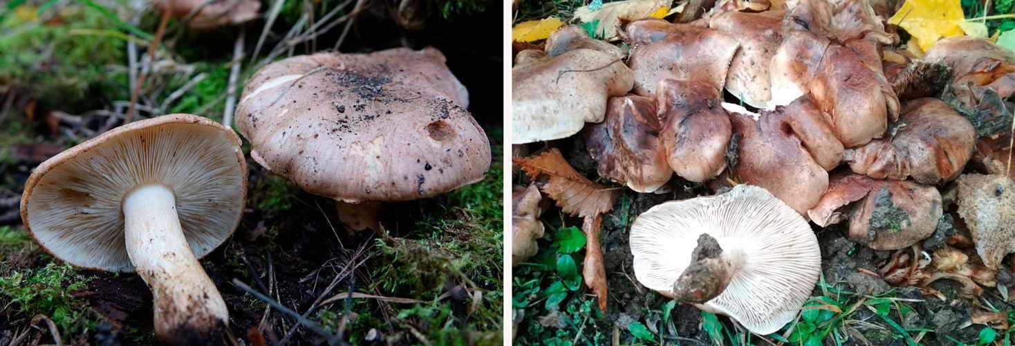 Как засолить грибы валуи правильно и вкусно