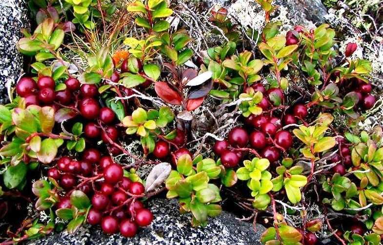 Лечебные свойства ягод брусники и противопоказания. можно ли сохранить на зиму с пользой?