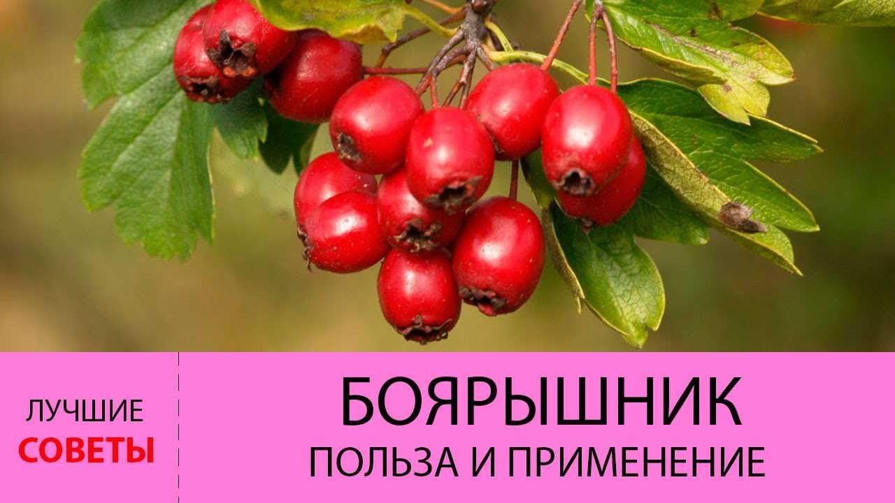 Плоды боярышника: полезные свойства и противопоказания, способы приготовления на зиму