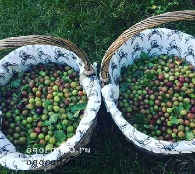 Вино из крыжовника - как приготовить дома из зеленых, желтых или красных ягод