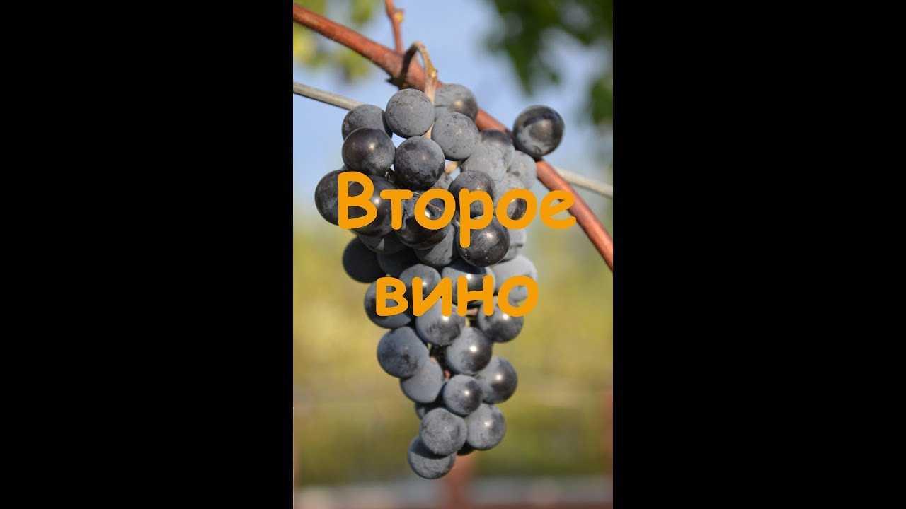 Виноград изабелла: как приготовить домашнее вино из винограда в домашних условиях, простые рецепты
