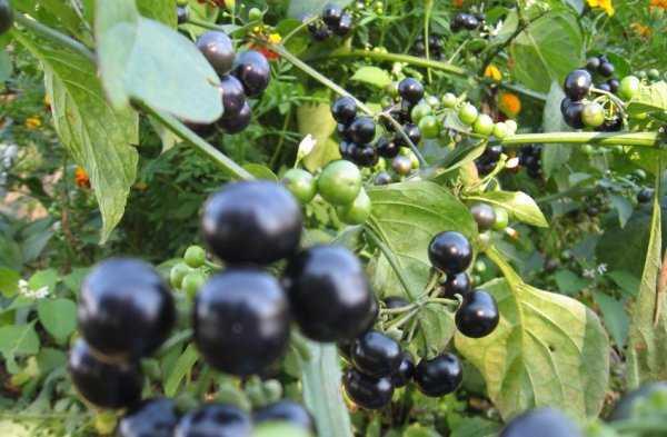 Санберри (28 фото): полезные свойства ягоды и противопоказания, когда собирать урожай канадской черники? посадка и уход за растением
