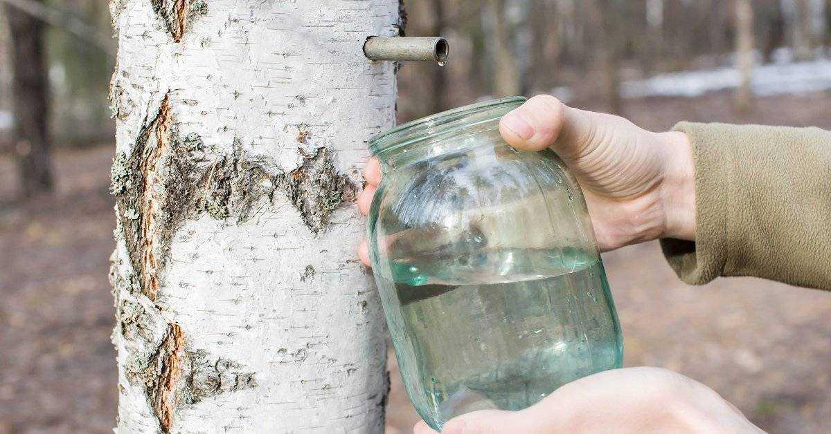 Как правильно собирать берёзовый сок. когда в 2021 году нужно собирать берёзовый сок