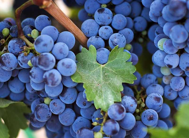 Домашнее вино из зеленого винограда: особенности и технология приготовления.