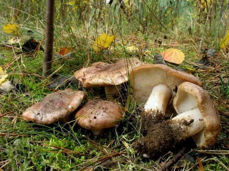 Как мариновать грибы рядовки: простые рецепты