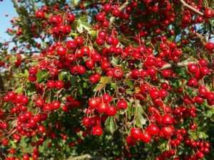 Сушеные ягоды боярышника применение. как употреблять ягоды боярышника?   здоровье человека